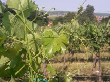 vinohrad-pod-plavou